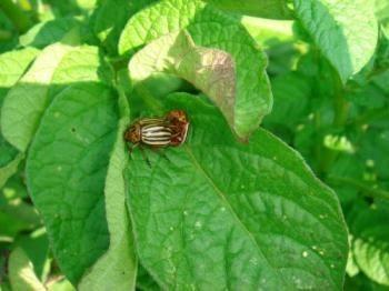 organic vegetable production