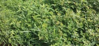 organic dairy farmer's, organic farming, organic legumes