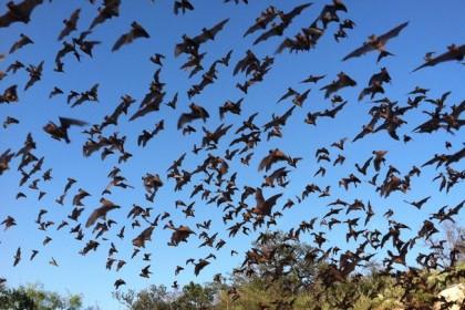 bats in organic farm