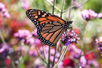 butterfly organic farming
