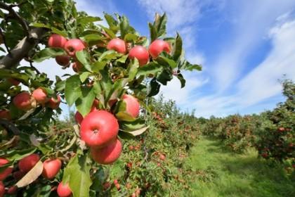 organic apples demand