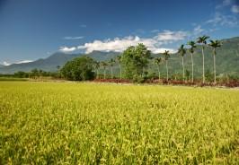 organic rice farming