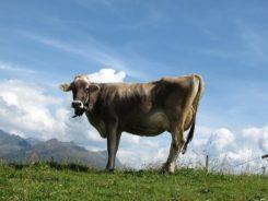 cow urine organic pesticides