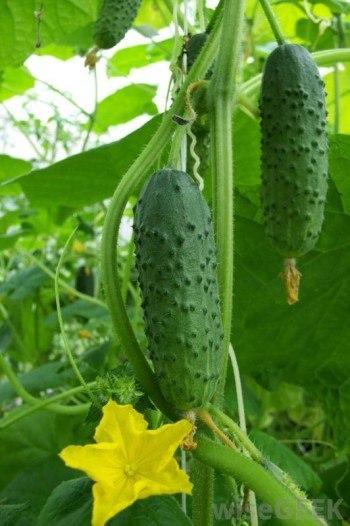 organic farming, cucumber organic farmer