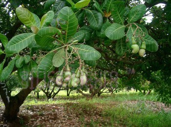 organic cashew production