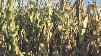 organic combinable crop agronomy