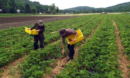 organic strawberries business
